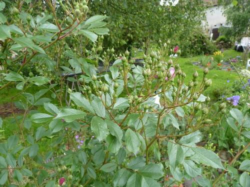la reine des fleurs au jardin de l'abbaye 2