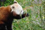 Panda Roux ♀ de Biotropica.
