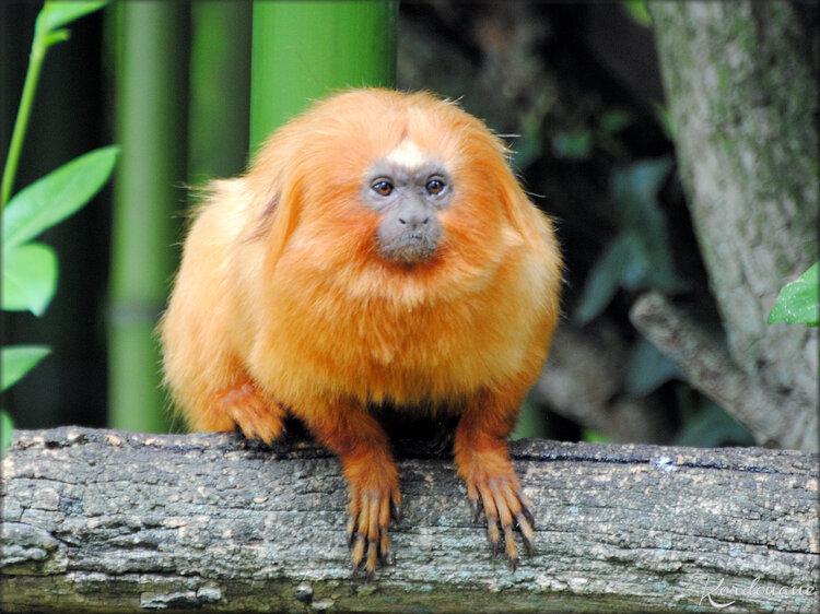 Tamarin Lion doré (Zoo de Doué la Fontaine)