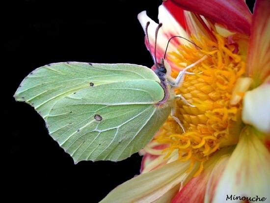 Papillons de jour ..