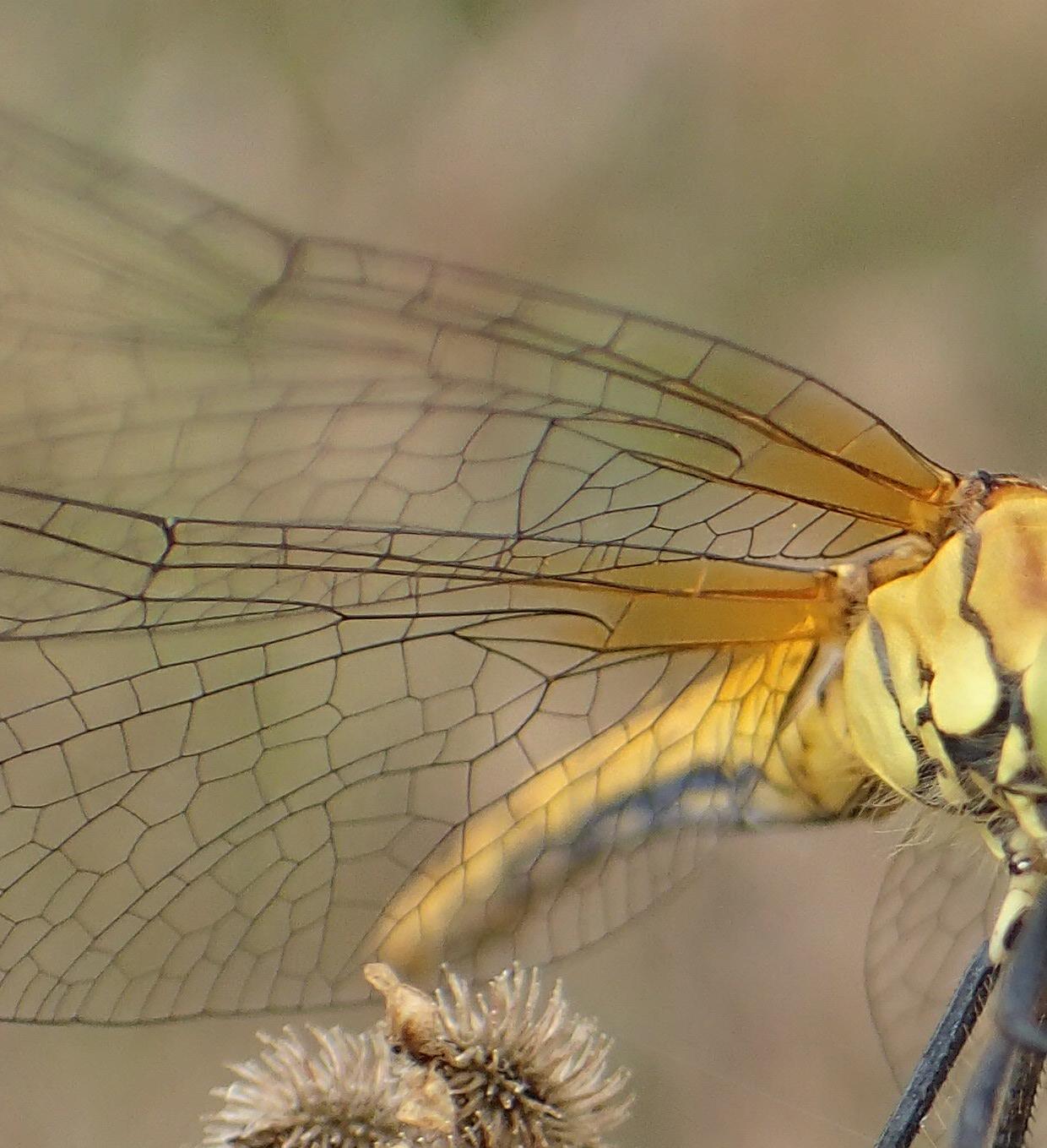 Sympetrum sanguineum - ailes