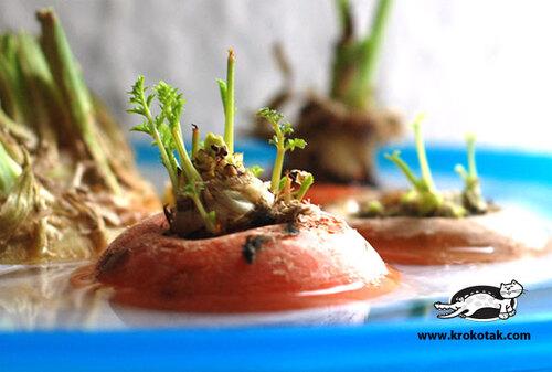 Les carottes fleurissent