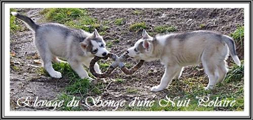 Husky et corde