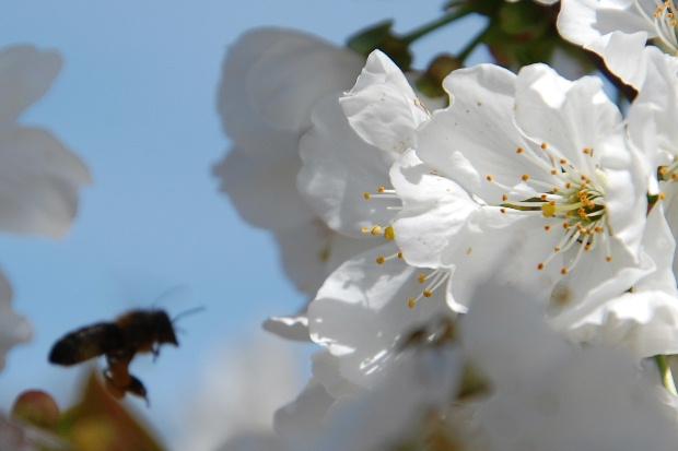 cerisier13m