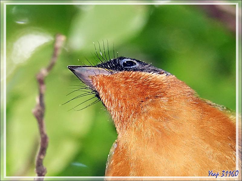 Tchitrec malgache ou Gobe-mouche de Paradis (femelle ou mâle immature), Malagasy Paradise Flycatcher  (Terpsiphone mutata) - Grande Mitsio - Madagascar