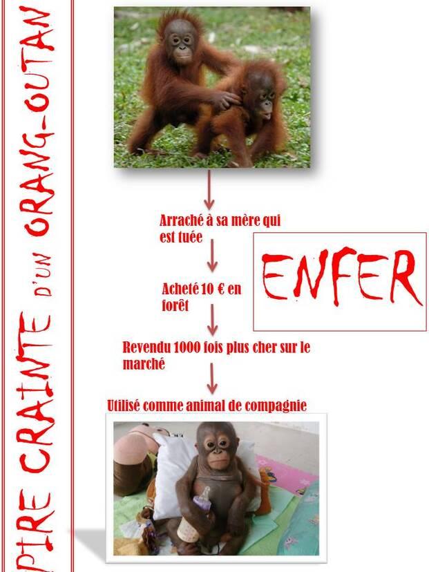 L'enfer d'un orang-outan