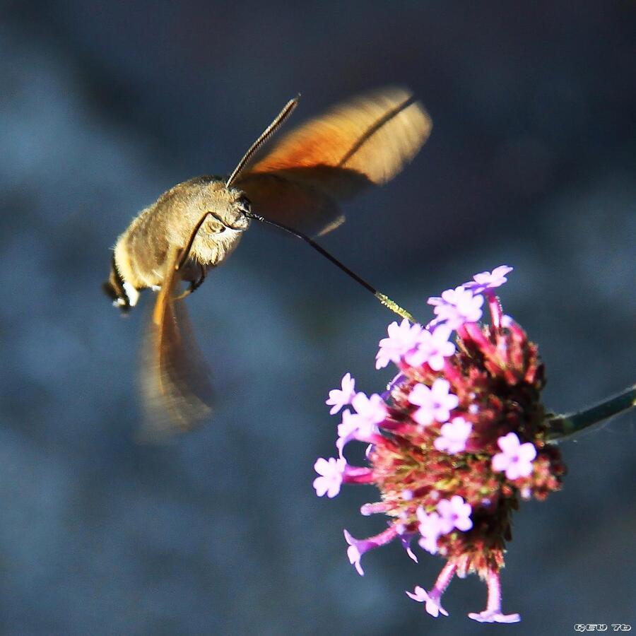 Papillon Moro Sphynx...!!