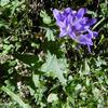 Campanule gantelée (Campanula trachelium)