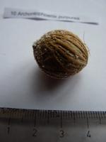 archontophoenix purpurea