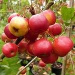 La Feuillerie, suite de la visite...pépinière mela rosa - malus crittenden