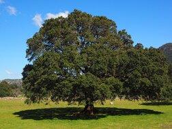 Le Ravinstara, l'arbre qui s'adapte à toutes les situations