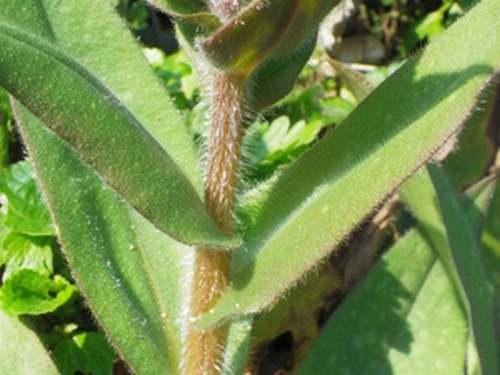 Vertus médicinales des plantes sauvages : Pulmonaire officinale