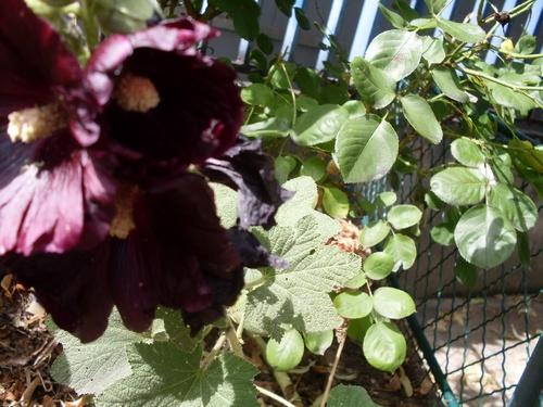 Roses tremières, chardons et autres