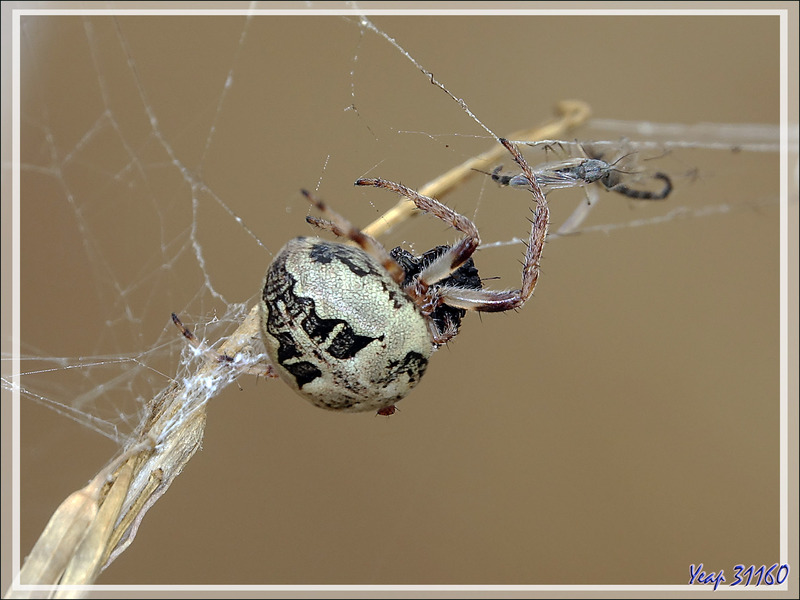 Araignée Épeire des roseaux (Larinioides cornutus) - La Couarde-sur-Mer - 17