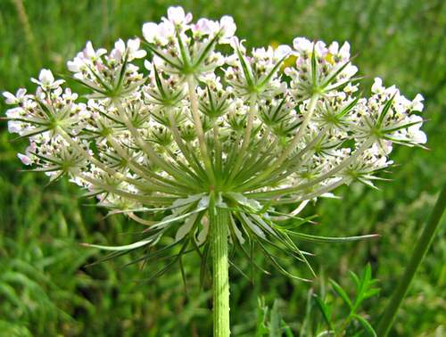 Vertus médicinales des plantes sauvages : Carotte sauvage