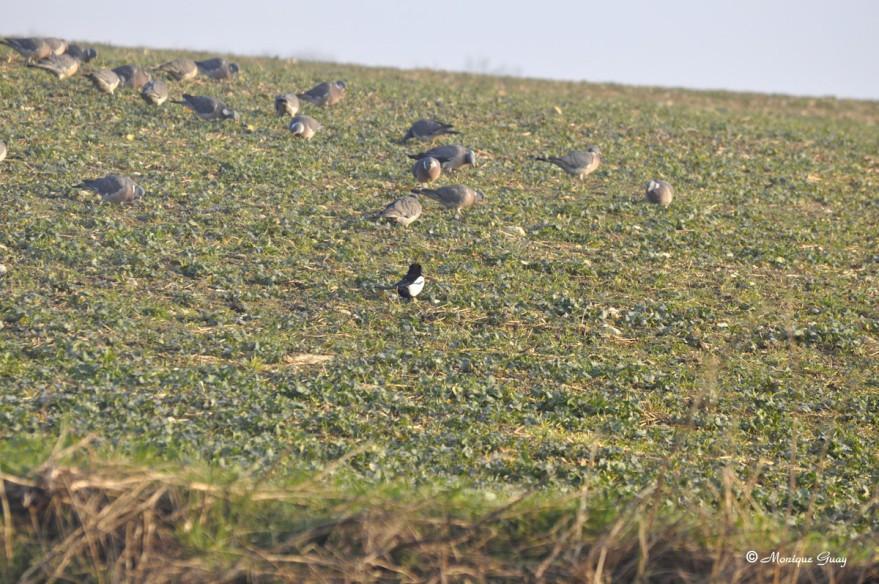 pie-et-pigeons-4521.jpg