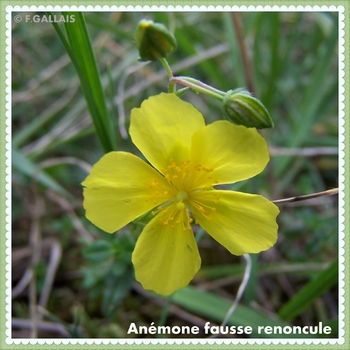 Anémone fausse renoncule-Anemone ranunculoides