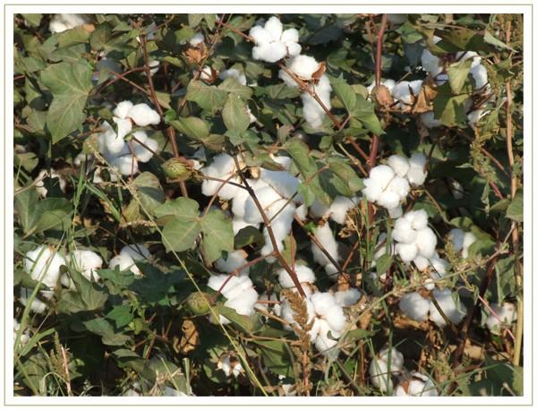 Boules de coton dans le champ