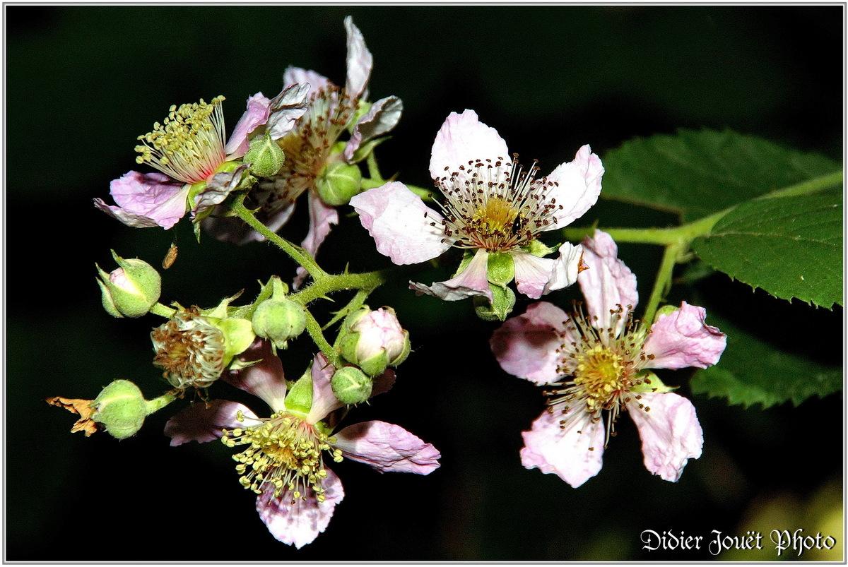 Ronce Commune (1) - Rubus fruticosus