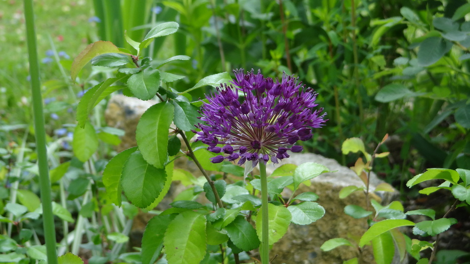 "Ail d'Ornement ""Allium"""