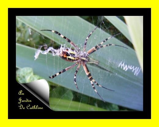 araignée à identifier verso 7 Août 2014 (47)