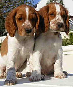 Welsh+Springer+Spaniel+Dog+Breed+Images+02