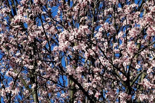 C'est le printemps : arbres en fleur ... (2)