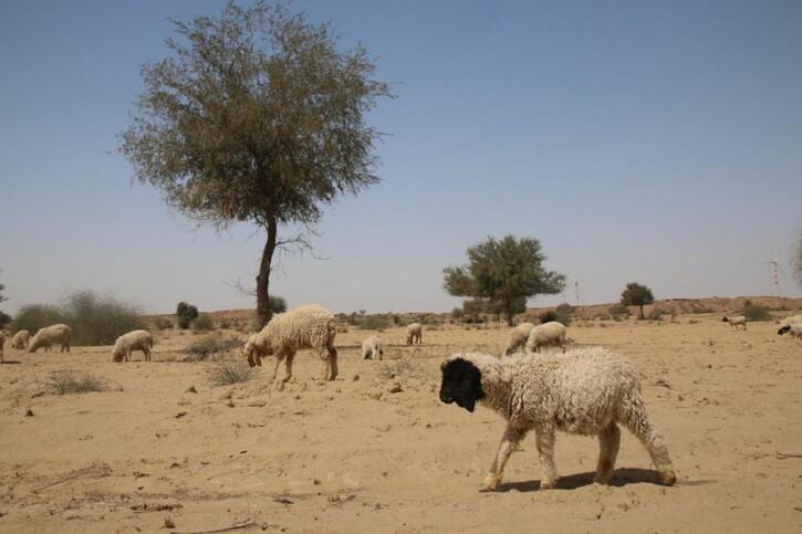 Nature en Images 3:  Désert du Thar: chameaux, chaleur et chaï