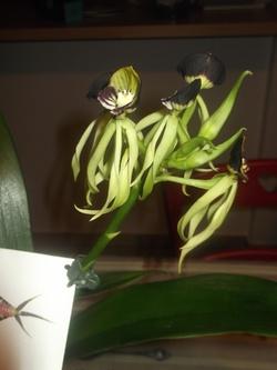ORCHIDEE .....