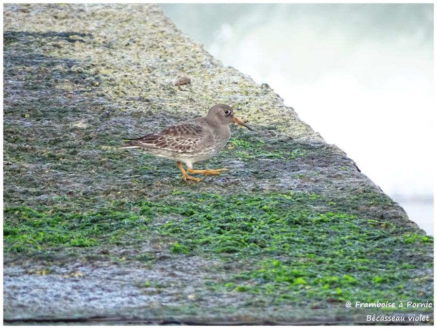 Bécasseau violet - Pointe St Gildas - 44 -