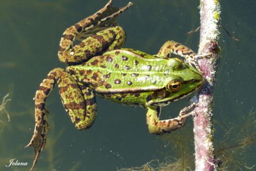 grenouilles vertes vendéennes