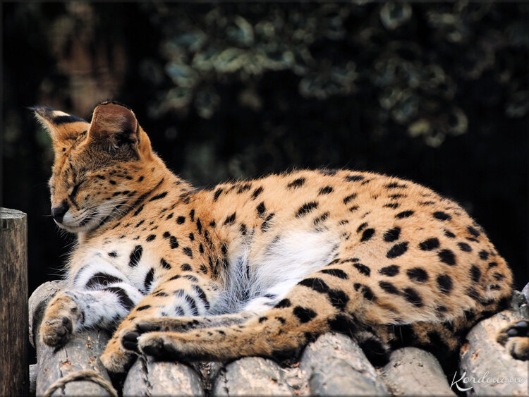 Photos Muntjac de Reeves - Zoo de la Boissière du Doré