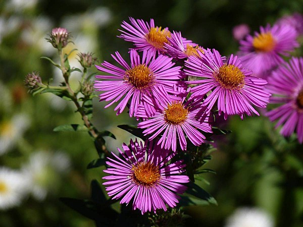 Aster 20-09-005