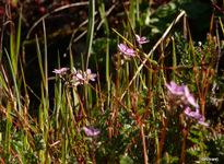 géranium des prés (Geranium pratense)