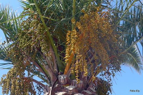 Les palmiers sont malades ...