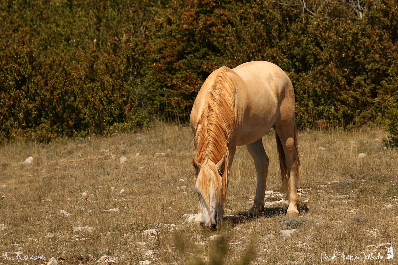 Cheval de Camargue... rose !