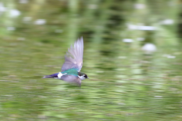 Violet green swallow - Lily Pond