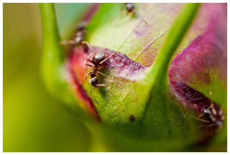 le bal des fourmis