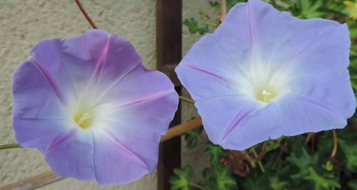 mes fleurs de volubilis ...