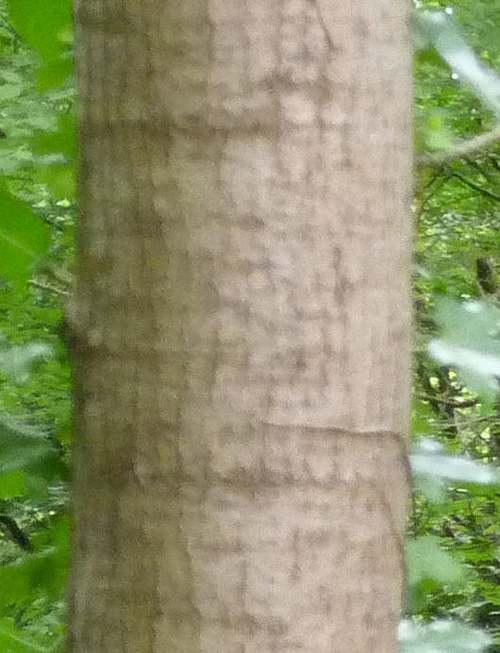 Vertus médicinales des arbres : Tremble