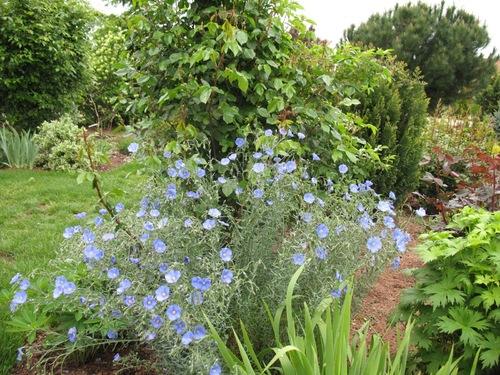Fleurs cultivées : Lin