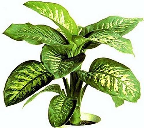 Les plantes d 39 int rieur dieffenbachia chezmamielucette for Les plantes interieur