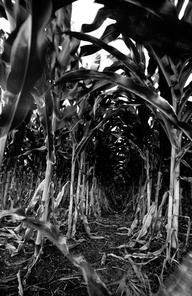 Maïs traité avec des pesticides au Chiapas, Mexique (Photo : David Lauer)