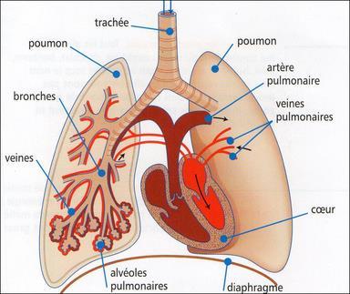 Extrêmement La respiration et l'appareil respiratoire - La classe de CM1-CM2 d  AK52