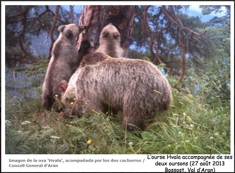 Enfin une excellente nouvelle : deux oursons sont nés cet hiver dans les Pyrénées !