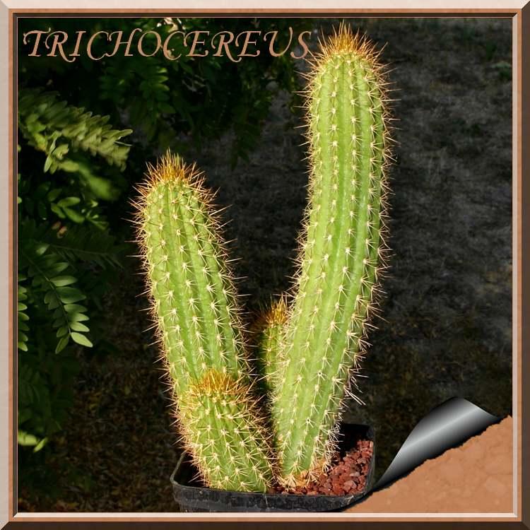 Plantes d'Intérieur : TRICHOCEREUS  (cactacées)