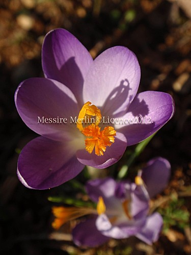 Crocus-copie-1