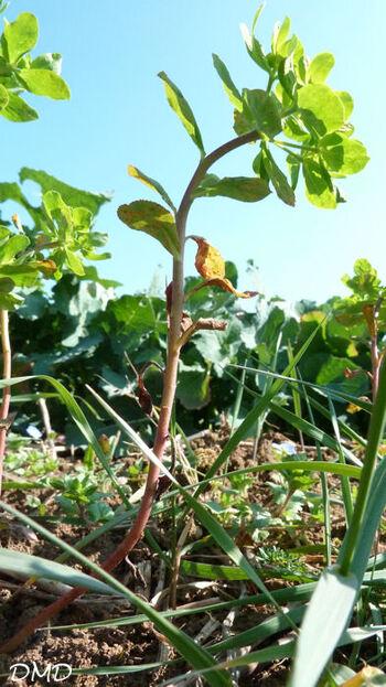 Euphorbia helioscopia - euphorbe réveille-matin