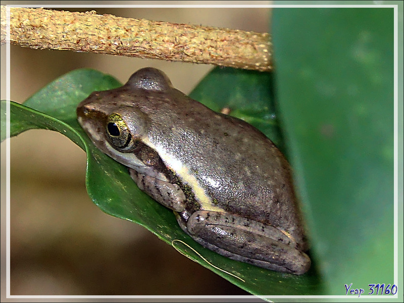 Petite grenouille indéterminée - Nosy Komba - Madagascar