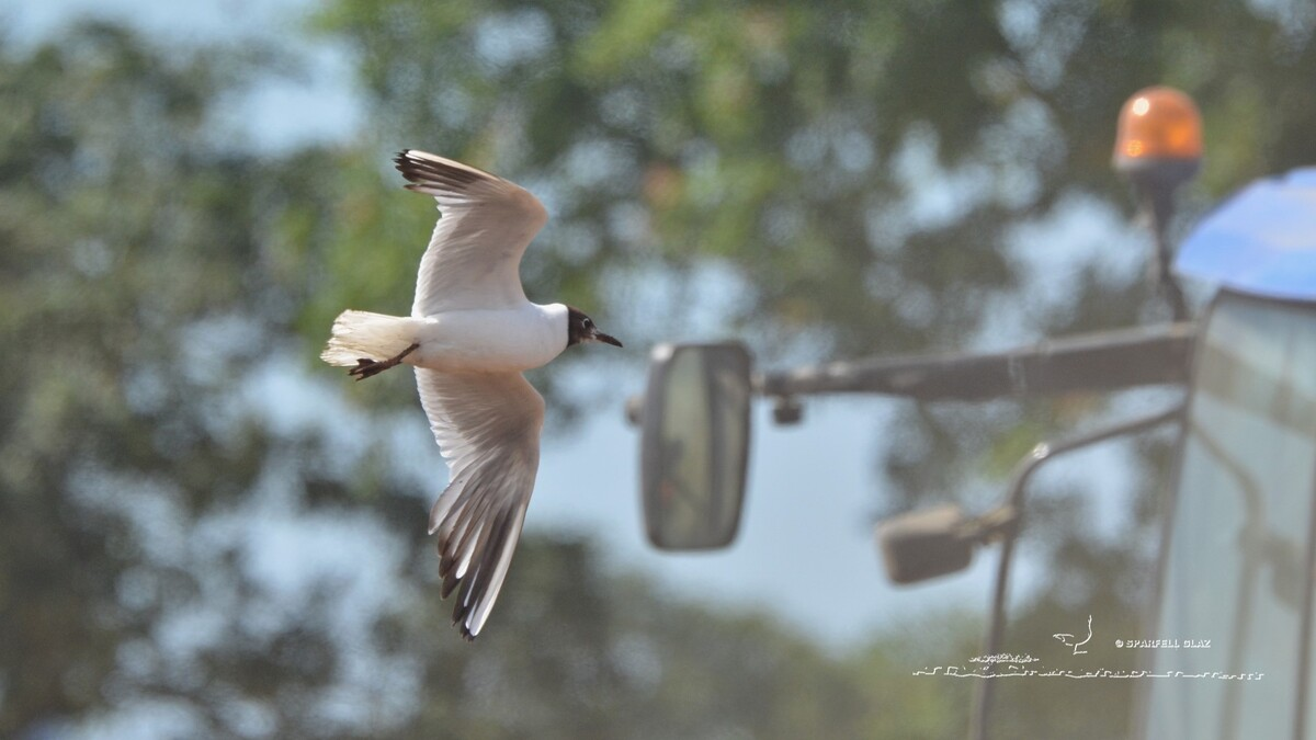 310 - Mouette rieuse